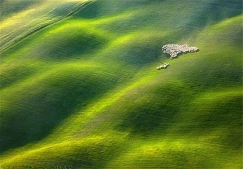 تصاویر زیبا از چرای گوسفندان در مزارع ایتالیا