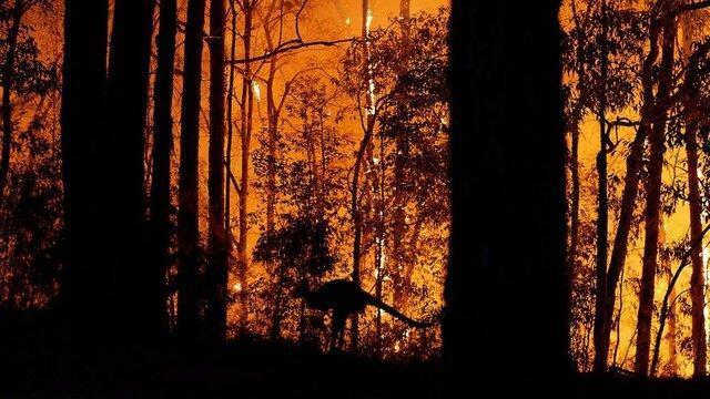 خطر تلف شدن کامل بعضی گونه های حیوانی در آنش سوزی های استرالیا