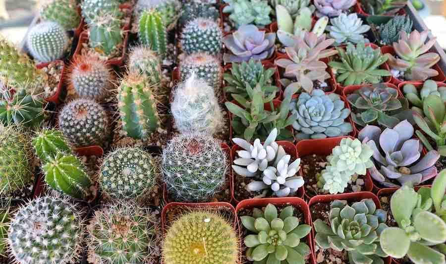 انواع کاکتوس خانگی؛ معرفی 13 کاکتوس مناسب آپارتمان یا باغچه
