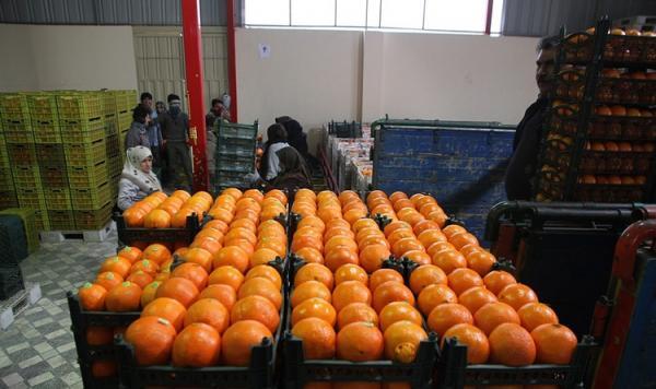 قیمت پرتقال در باغ 2000 تومان؛ فروش در بازار20 هزار تومان!